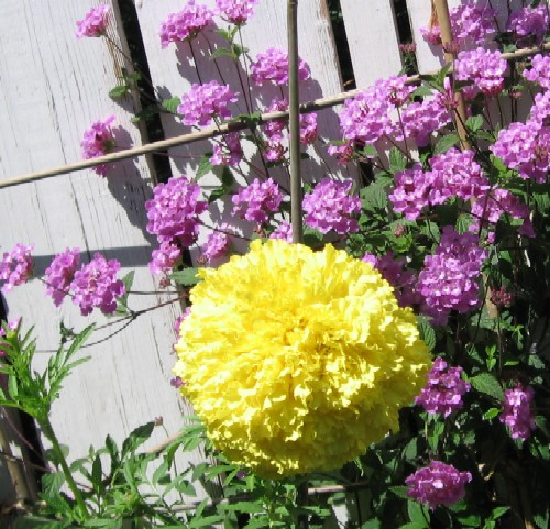 In any case, this week's headline photo comes from Beth's garden and  features a scented marigold hovering before a wall clad with Hardenbergia.